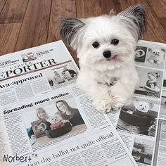 When he posed with his newspaper article that's just as big as he is. | 22 Times Norbert The Therapy Dog Warmed Your Heart
