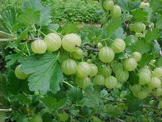 Gooseberry. There were not many of them in my hometown.  So they were more expensive than the other wild berries.  They are too sour to my taste.