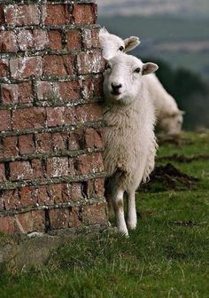 Sheeps ~ Schafe