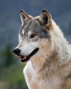 """beautiful-wildlife: """"Tundra Wolf by © Randy Heidenreich """" Beautiful Wolves, Animals Beautiful, Cute Animals, Wolf Photos, Wolf Pictures, Wolf Hybrid, Wolf World, Wolf Husky, Wolf Stuff"""