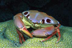 Reef Crab Carpilius maculatus