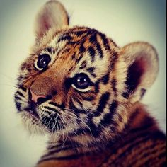 Tiger cub it's one of my relatives! I'm Kisa the tiger! Cute Tiger Cubs, Cute Tigers, Cheetah Cubs, Cute Baby Animals, Animals And Pets, Funny Animals, Wild Animals, Cute Creatures, Beautiful Creatures