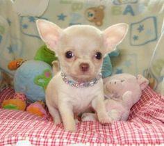 baby chihuahuas make me =)