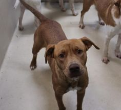11/14/16-Taylor is a female Staffordshire Terrier mix 1-2 years old Kennel A7  $51 to adopt  ADOPT/RESCUE/FOSTER   Located at Odessa, Texas Animal Control. Must have a valid Drivers License and utility bill with matching address to adopt. They accept Credit Cards, cash or checks. We ARE NOT the pound. We are volunteers who network these animals to try and find them homes. Please send us a PM if we can answer any questions for you.