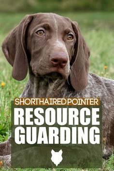 Resource Guarding happens when a dogs behaviour is off, such as growling or biting. This can happen in any breed but today we will discuss what happens and what to with your Shorthaired Pointer. Best Guard Dog Breeds, Best Guard Dogs, Best Dogs, German Dog Breeds, Large Dog Breeds, Large Dogs, Dog Breed Info, Big Puppies, The Perfect Dog