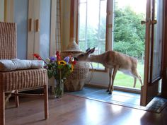 A deer attracted to a vase of flowers in a home