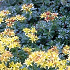 Low-growing sedums may not produce the big bang of color like their taller cousins, but it's hard to go wrong with these ultra-low-maintenance groundcovers for sunny spots. This one provides golden blooms in summer. Name: Sedum acre Growing Conditions: Full sun and well-drained soil Size: 3 inches tall Zones: 4-9