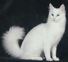 Turkish Angora. The Turkish Angora is a semi-longhaired cat that originated in Turkey. They are long bodied and graceful with a fine silky coat. Although solid white is the most well-known color, they do come in a variety of additional colors and patterns.