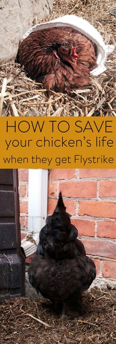 Flystrike is a HUGE killer of chickens but for some reason it isn't talked about a lot. Read this so you know the signs and exactly what to do if it happens. Because if it does, you only have a day or so to help her.