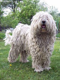 KOMONDOR Dog                                                                                                                                                                                 More