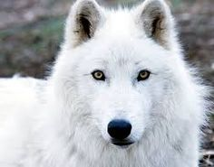 Image of Atka, an Artic Wolf at the Wolf Conservation Center Wolf Love, Arktischer Wolf, Wolf Husky, Gray Wolf, Wolf Pup, Wolf Eyes, Wolf Images, Wolf Photos, Wolf Pictures