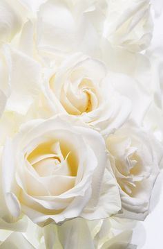 Rose, white - A heart unacquainted with love
