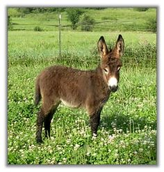 Miniature Donkeys. I love my adopted ones but a mini one would be awesome!