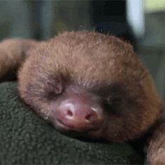 010-funny-animal-gifs-cute-baby-sloth-yawns.gif (337×337)