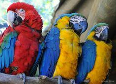 Arara-vermelha-grande ( Ara chloropterus) e Arara-canindé ( Ara ararauna ). Bird, Brazil!