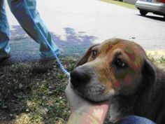 BUFFY-courtesy lis is an adoptable Beagle Dog in Marion, IN. A LITTLE BIT ABOUT ME! 7/13/10: COURTESY LISTING: HELLO, MY NAME IS BUFFY! Buffy is a very sweet girl that wondered into a garage in terrib...