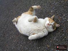 お腹さすって欲しいニャ~/猫 ネコ cats  (Nestle PURINA ネスレ日本)