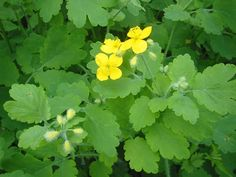 """Description 1614 : """"Ukraine organic seeds"""" Name: Celandine Herb seeds Weight: g Number of seeds: about 150 seeds Tall: Plant life: perennials Color: yellow , green Warts Remedy, Organic Apple Cider Vinegar, Herb Seeds, Medicinal Herbs, Planting Seeds, Natural Wonders, Amazing Gardens, Perennials, Beautiful Flowers"""