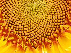 Fibonnaci Sequence in sunflower