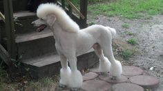 I'm just having them do a puppy cut, mainly fft. Poodle Grooming, Pet Grooming, Puppy Training Guide, Poodle Haircut Styles, Grey Poodle, Poodle Puppies For Sale, Poodle Cuts, Dog Hotel, Cute Dogs Breeds