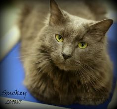 I'M SPECIAL BECAUSE: I'm a SENIOR sweetie! Smokey, ID: A209067  Location: CAT-PLAY-1 Neutered male, 8 yrs, Domestic Long Hair good with kids & nice dogs, handsome & a real love. Intake: 3/22/2014 Smokey had an angel watching over him. He was adopted from us, picked up as stray in Houston, on death row & had only 3 days to get out. Luckily he was chipped to us & returned to us INTERESTED in SMOKEY? Visit Montgomery County Animal Shelter Conroe TX or EMAIL with ID to…