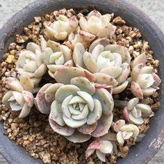 #succulove #suckerforsucculents #succulents #succulent by love.succulent
