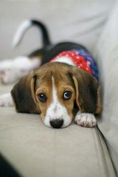 baby girl. #dogs #beagles Soooooooooooo cute!!