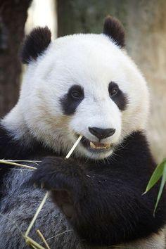 Panda Portrait