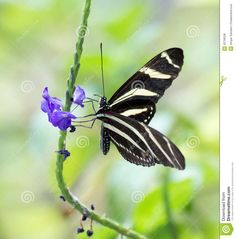 Zebra Longwing Butterfly And Flower - Download From Over 57 Million High Quality Stock Photos, Images, Vectors. Sign up for FREE today. Image: 25758238