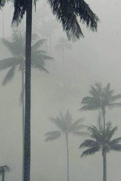 Palms in Cocora | byMatias H. Presta.