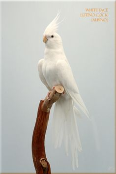 White Faced Lutino Cockatiel I want