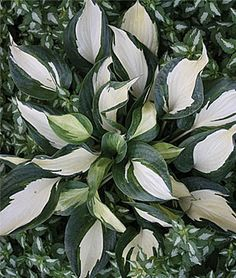Hosta, Dancing Stars Incredible thick leaves that holds the crisp colors of the white center with dark blue-green margins better than any similar types. As prolific a grower as its parent, Dancing in the Rain, and very long lived. The light lavender spike flower sweeps over the variegated foliage in a very complementary fashion. lifecycle: Perennial  Zone: 3-9  Sun: Full Shade, Part Sun  Height: 24  inches Spread: 36  inches Uses: Beds, Borders  Bloom Season: Summer