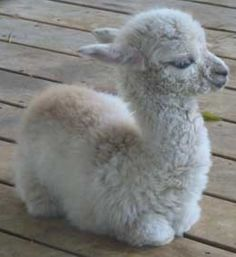 My fantasy life will always include a llama. And one like this would be lovely.