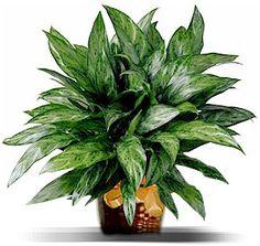 Cat friendly, low light plant  http://www.lasvegasbouquet.com/plants/ch-evergreen.jpg