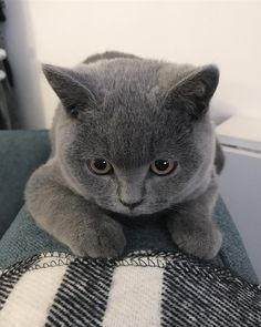 "369 Likes, 10 Comments - Maki - My British Blue (@maki_the_catteh) on Instagram: ""CUTE! . . . . . #cat #catsofinstagram #catsofday #bestmeow #catlife #mycat #kittens #cats…"""