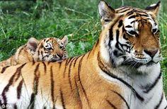 Cute tigers :)