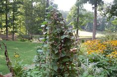 In Praise Of Malabar Spinach -