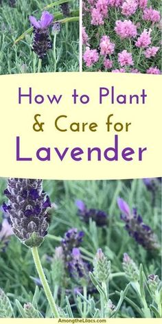 garden care yards Lavender is a perennial plant that is not only beautiful, but versatile. It can be used for crafts and home remedies! Learn how to plant and care for lavender plants with this helpful guide! Lavender Plant Care, Lavender Bush, Growing Lavender, Growing Herbs, Lavender Flowers, Lavander, Caring For Lavender Plants, Uses For Lavender Plant, Perennials
