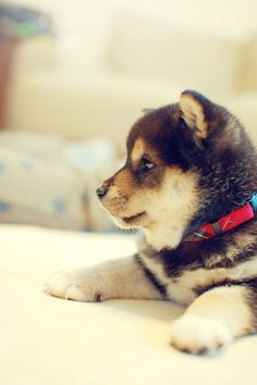 Shiba Inu Puppy. Literally the cutest puppies I've ever seen.