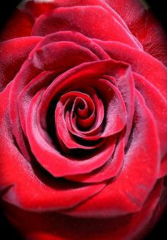 Red Rose its always the rose thats r ed
