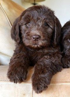 Adorable Chocolate Cockapoo Puppy