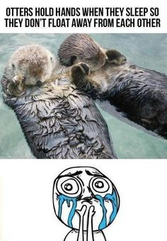 Otters holding hands <3