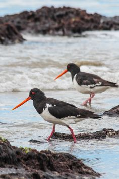 Pied Oystercatchers (H. finschi), endemic to New Zealand // funky-looking red… Nature Sauvage, Shorebirds, All Nature, Sea Birds, Birds Of Prey, Fauna, Bird Watching, Bird Art, Bird Feathers