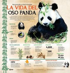 La vida del Oso Panda #infografia