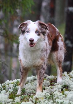 An alert Aussie in the forest.