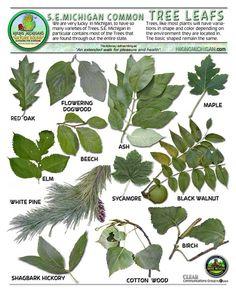 Michigan+Tree+Identification+by+Leaf | LeavesID Trees And Shrubs, Trees To Plant, Tree Leaf Identification, Michigan Trees, Hickory Tree, Black Walnut Tree, Tree Images, Unique Trees, Edible Plants