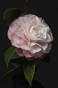 Pastel Pink Camellia
