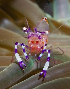 Anemone Shrimp, purple and white banded legs, pinkish body. From Anilao, Batangas, Philippines.