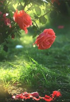 You need to water it everyday and . Wallpaper Nature Flowers, Beautiful Landscape Wallpaper, Beautiful Flowers Wallpapers, Beautiful Rose Flowers, Flower Phone Wallpaper, Flower Backgrounds, Flowers Nature, Exotic Flowers, Amazing Flowers