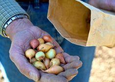 4 Простых совета по посадке лука, чтобы в конце сезона собрать огромный урожай | Дачный каприз | Яндекс Дзен